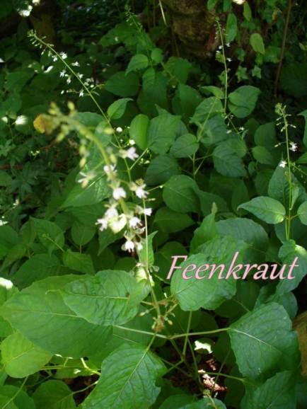 feenkraut